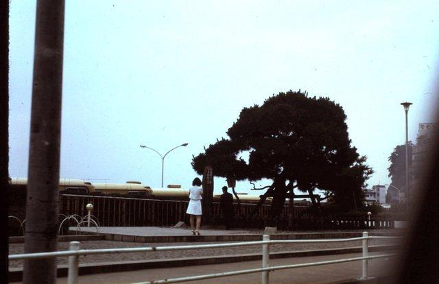 Tree in Izu